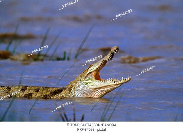 Nile Crocodile Kenya Africa