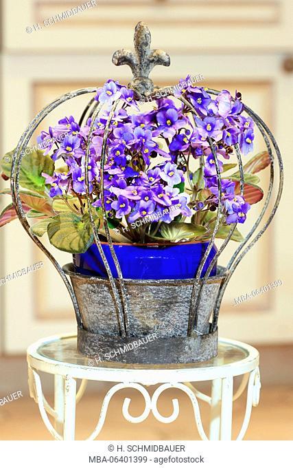 Saintpaulia / African violet in metal crown, Saintpaulia ionantha
