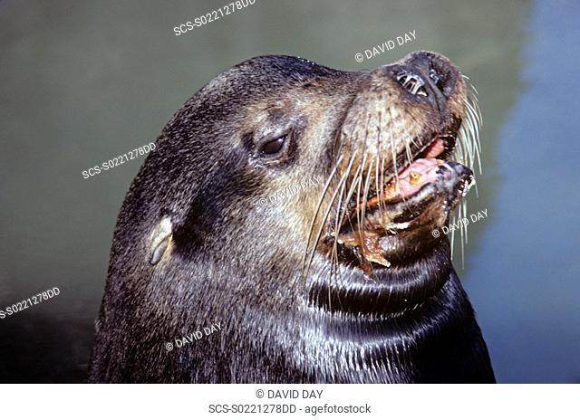 Head of snotty nosed bull Galapagos sea lion Zalophus californianus wollbaeki Punta Espinosa, Fernandina Island, Galapagos, Ecuador