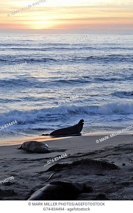 An elephant seal along the California coast on the beach shore, USA