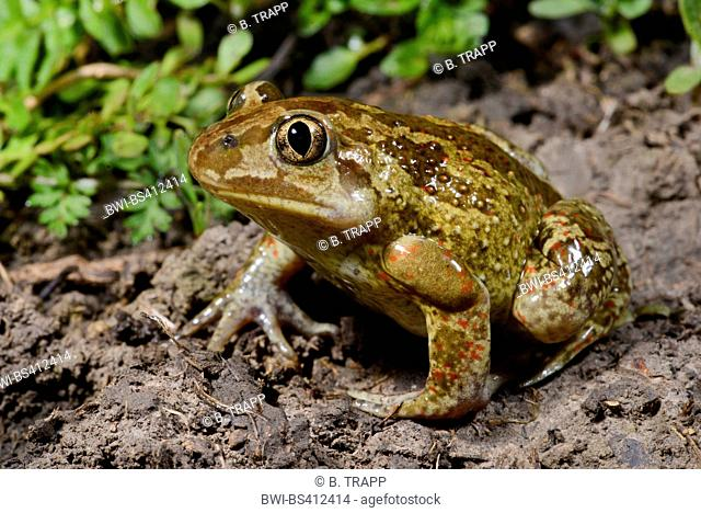 common spadefoot, garlic toad (Pelobates fuscus), male sitting on ground, with gender specific glands at upper arm, Romania, Iași