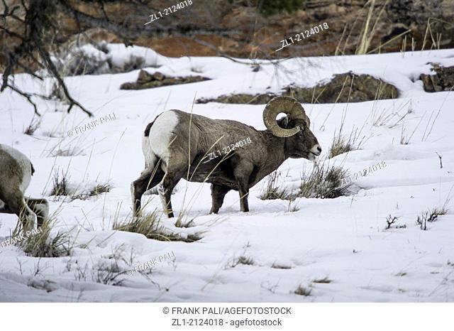 Bighorn Sheep Ovis canadensis Males. Wildlife of Yellowstone Park at Lamar Valley Mammoth Falls, Wyoming USA