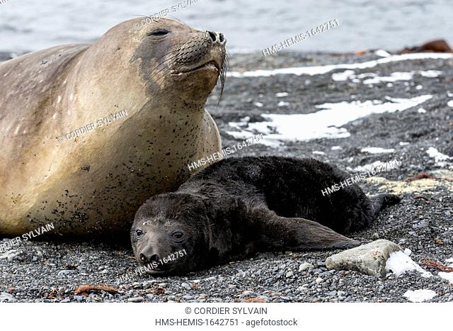 Antarctic, South Georgia Island, Prion island, Southern Elephant Seal (Mirounga leonina), mother and new born baby