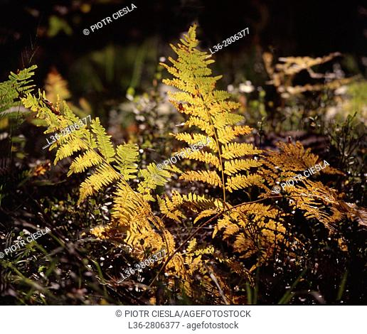 Poland. Forest. Ferns