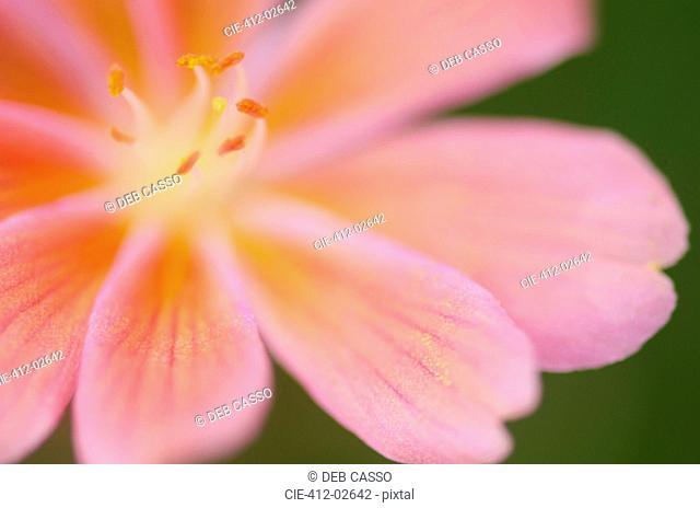 Close up of lewisia tweedyii flower