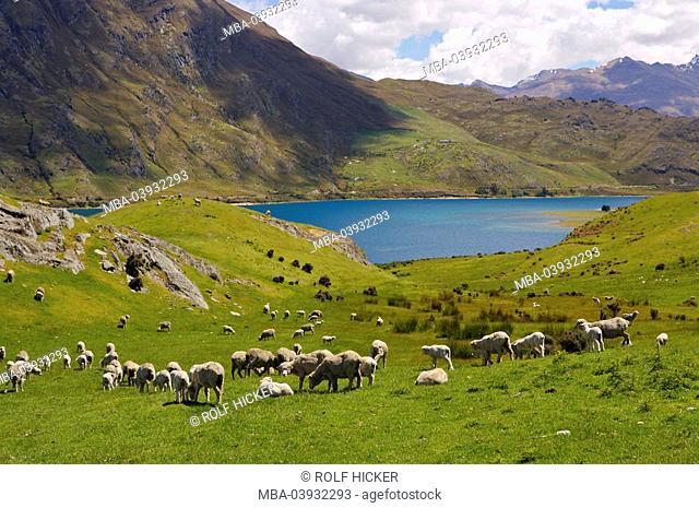 New Zealand, South-island, Central Otago, lake Hawea, pasture, sheep-herd, landscape, nature, lake, Hawea-Lake, landscape, economy, agriculture, sheep-breeding