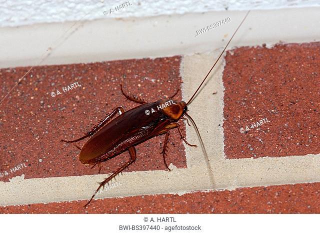 American cockroach (Periplaneta americana), at a cladding, USA, Florida, Kissimmee