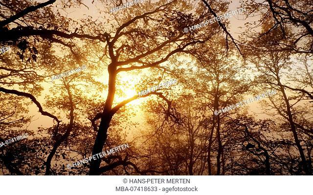 Autumn forest with fog at Freudenburg, Saartal, Rhineland-Palatinate, Germany