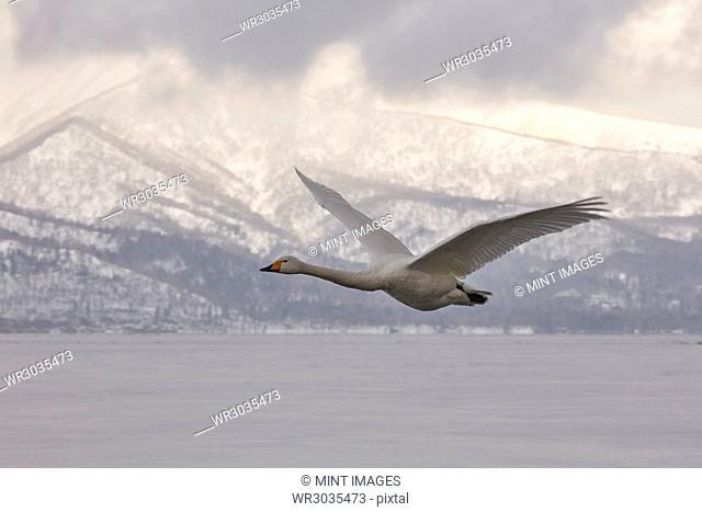 Whooper Swan, Cygnus cygnus, mid-air in winter