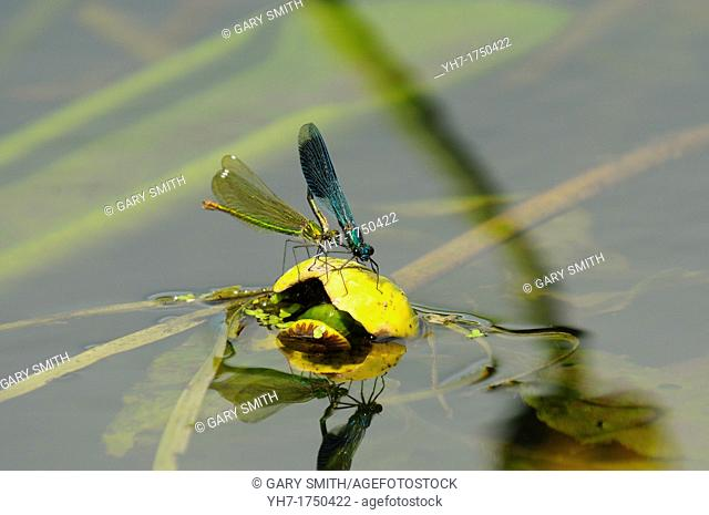 Banded Demoiselles, calopteryx splendens, male and female in mating activity, Norfolk, England, July