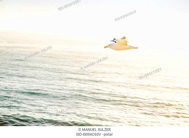 Gull flying over ocean