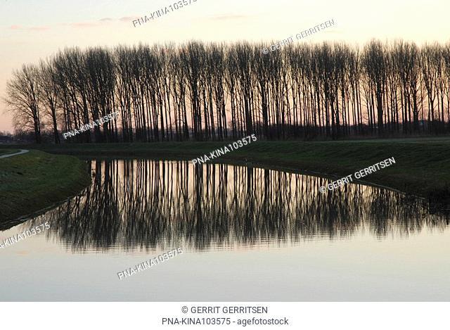 Poplar Populus spec. - Windesheim, Overijssel, The Netherlands, Holland, Europe