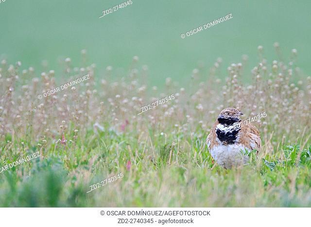 Little Bustard (Tetrax tetrax) male on habitat. Lleida province. Catalonia. Spain