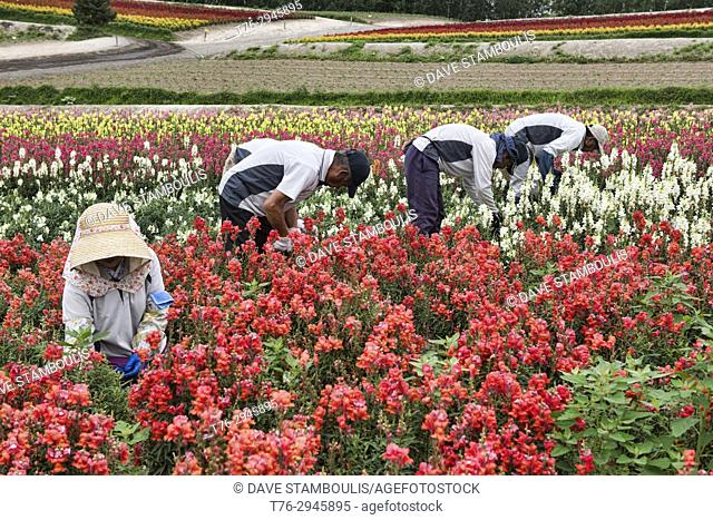 Workers pruning snapdragons (Antirrhinum) at the colourful Shikisai no Oka gardens, Hokkaido, Japan