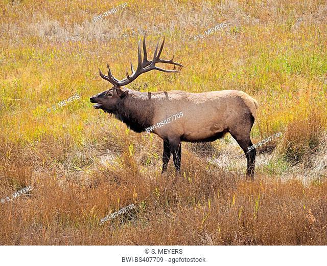 wapiti, elk (Cervus elaphus canadensis, Cervus canadensis), stag in rutting season, USA, Colorado, Rocky Mountain National Park