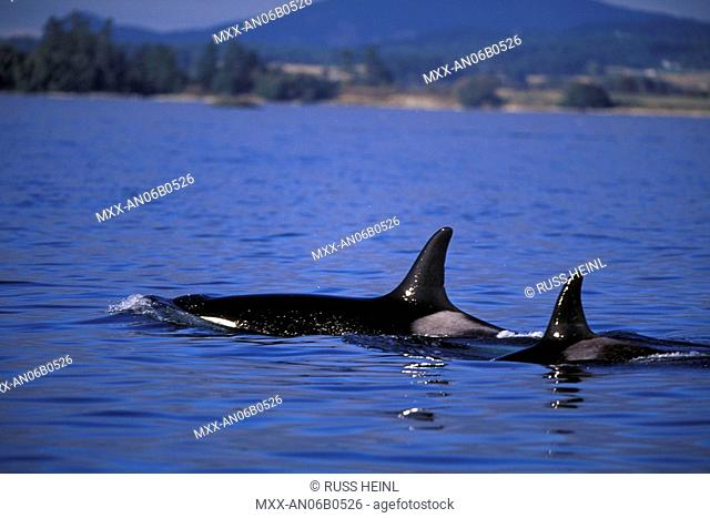 Orca whales, British Columbia, Canada