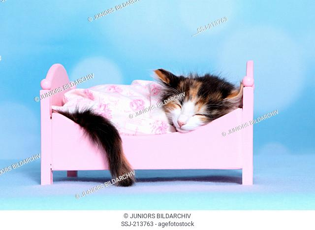 Norwegian Forest Cat. Kitten sleeping in a pink dolls bed. Studio picture against a blue background. Germany