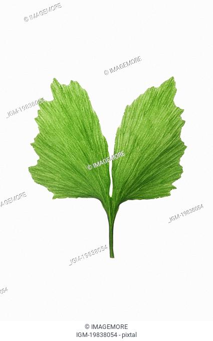 Close-up of a green gingko leaf on white background