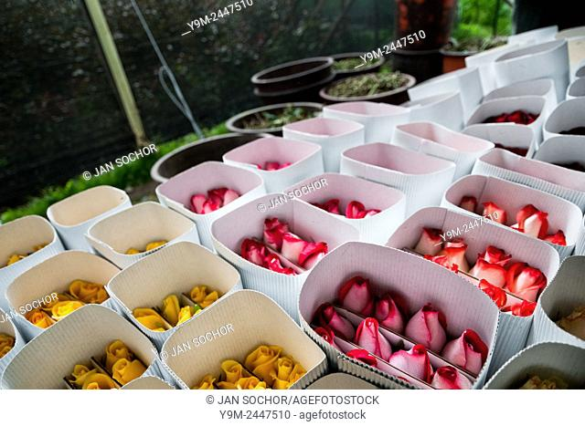 Roses wrapped in paper boxes at a flower farm in Cayambe, Ecuador, 29 June 2010. South American countries (Colombia and Ecuador) are world leaders in cut flower...