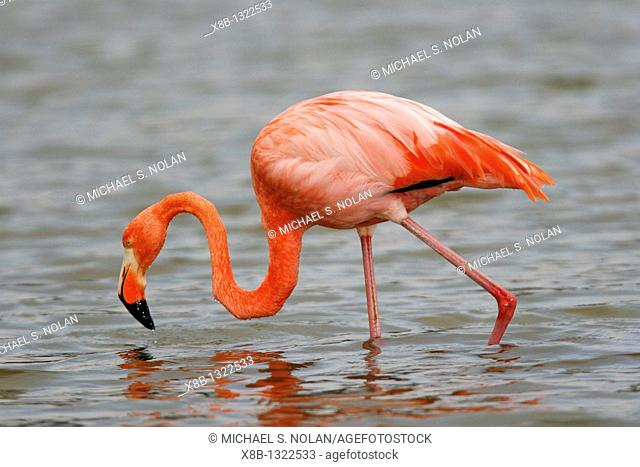 Greater Flamingo Phoenicopterus ruber feeding in the calm water lagoon behind Cormorant Point, on Floreana Island in the Galapagos Island Archipelago  Pacific...