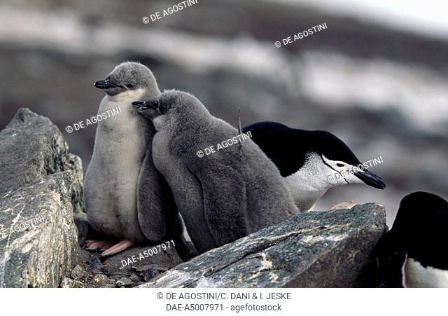Young Chinstrap Penguins (Pygoscelis antarcticus), Spheniscidae, Half Moon Island, Antarctica