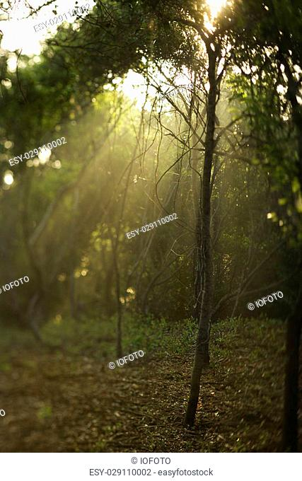 Rays of light shining through a forest