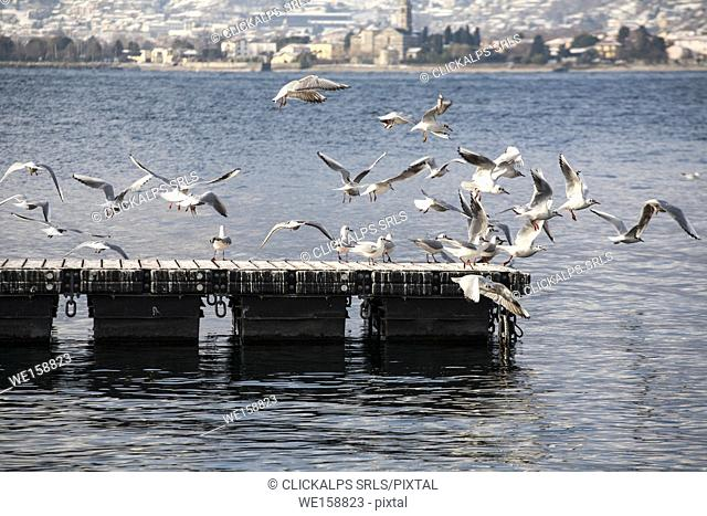 The seagulls of the Como lake at Geralario village. Lombardy, italy, province of Como