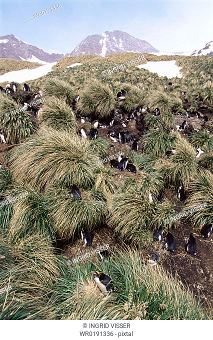 Macaroni penguins Eudyptes chrysolophus Nesting amoungst tussock, South Georgia Island, Antarctica, Southern Ocean