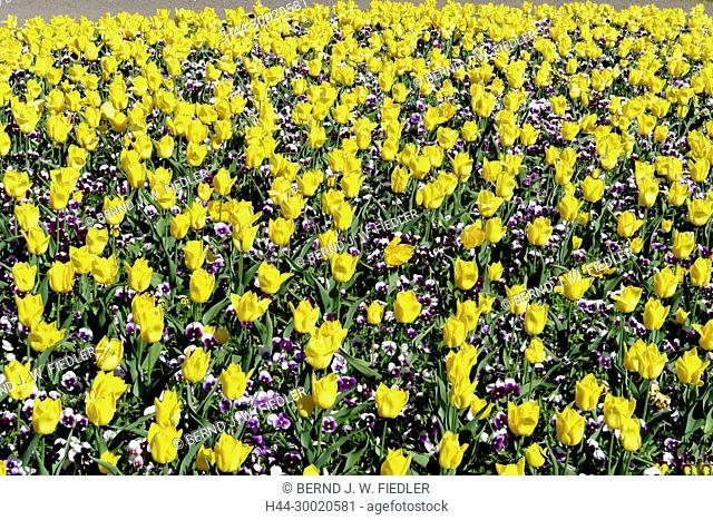 Germany, Lower Saxony, bath Castle Dri, Patch with tulips and pansies in the health resort park, flowers, plants, trees, park