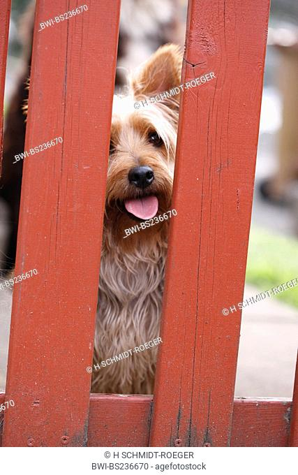 Australian Terrier Canis lupus f. familiaris, looking through garden fence