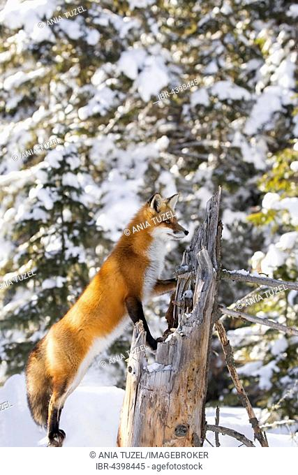 Red Fox (Vulpes vulpes), adult on the outlook, standing in snow, Algonquin Park, Ontario