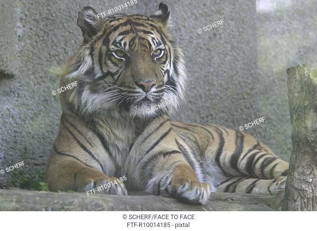 Tiger behind glass