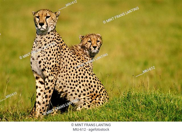 Cheetah mother and cub, Acinonyx jubatus, Masai Mara Reserve, Kenya