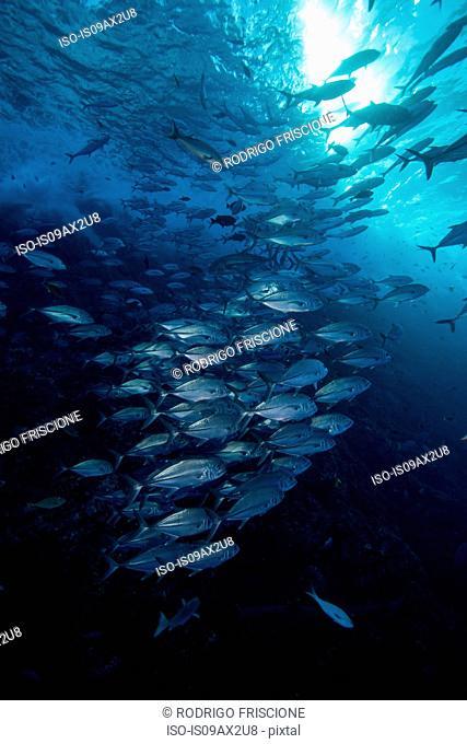 Underwater view of shoal of horse-eye jack (caranx latus) Roca partida, Revillagigedo, Colima, Mexico