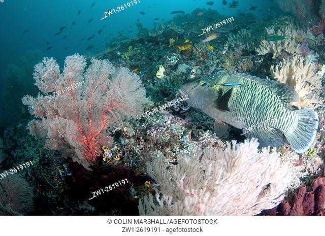 Humphead Wrasse (Cheilinus undulatus), Farondi Cave dive site, Farondi, Raja Ampat (4 Kings) area, West Papua, Indonesia
