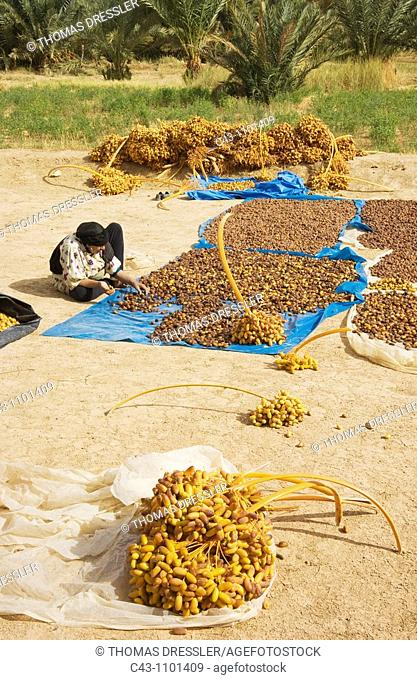 Morocco - Harvested dates are graded according to quality and size and then sun-dried  During the date harvest in October in the palmeries of Erfoud in the...