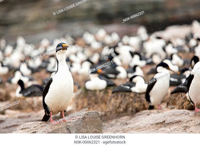 King Cormorant (Phalacrocorax atriceps) walking at colony, Falkland Islands, Sea Lion Island