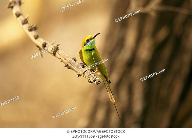 Green bee-eater, Merops orientalis, Jhalana, Rajasthan, India
