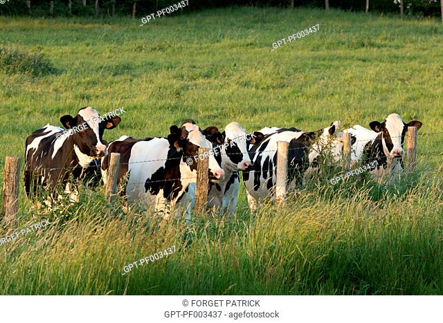HERD OF HOLSTEIN FRIESIAN COWS, CHARTRES, EURE-ET-LOIR, FRANCE