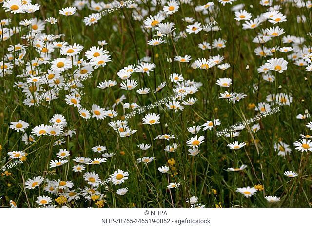 Ox-eye Daisy (Leucanthemum vulgare). June. Norfolk. East Anglia. England. UK