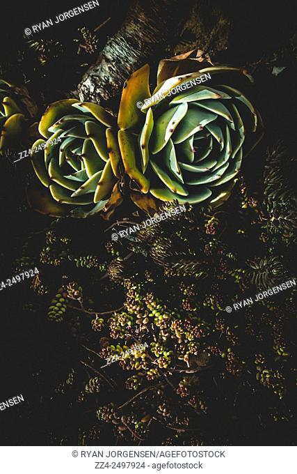 Vertical darkness capture on two succulent plants, also known as succulents or sometimes fat plants from their water retention qualities in arid climates