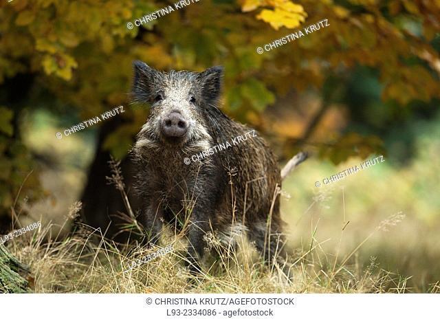 Young Wild Boar, Sus scrofa, Germany