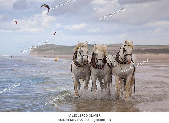 France, Pas de Calais, Wissant, boulonnais horses on the beach with the Cape Blanc-Nez in the background