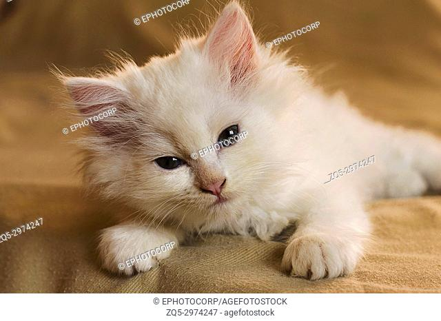 Cute little white kitten laying down