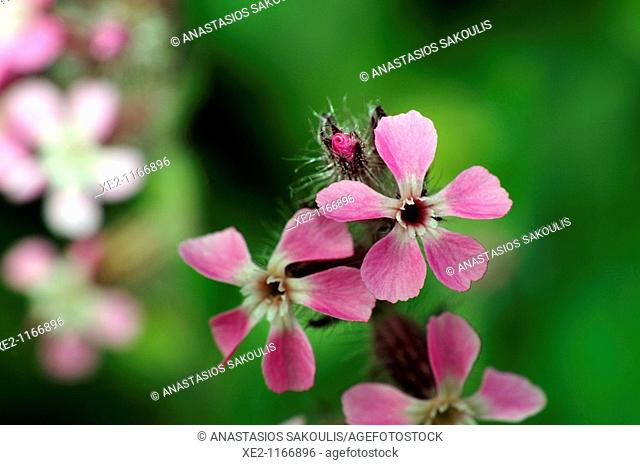 Common catchfly or small-flowered catchfly or windmill pink (Silene gallica), Crete