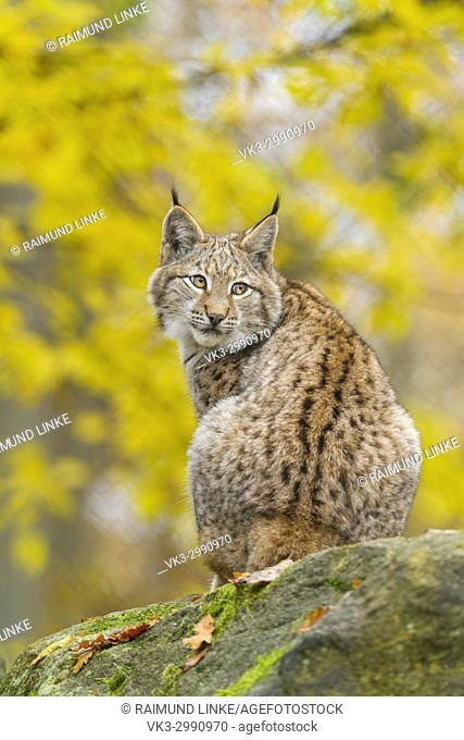 Eurasian Lynx, Lynx lynx, in Autumn, Germany, Europe
