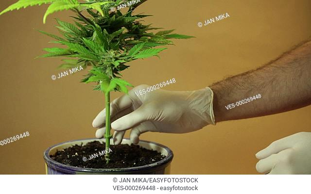 Hands touching stem of Cannabis plant in flowerpot