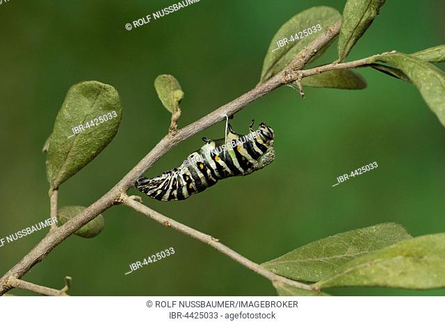 Black Swallowtail (Papilio polyxenes), caterpillar pupating into chrysalis, serie, Hill Country, Texas, USA
