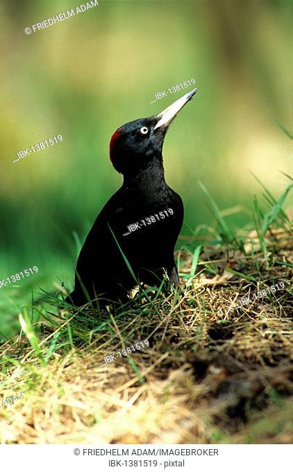 Black woodpecker (Dryocopus martius), female in a meadow
