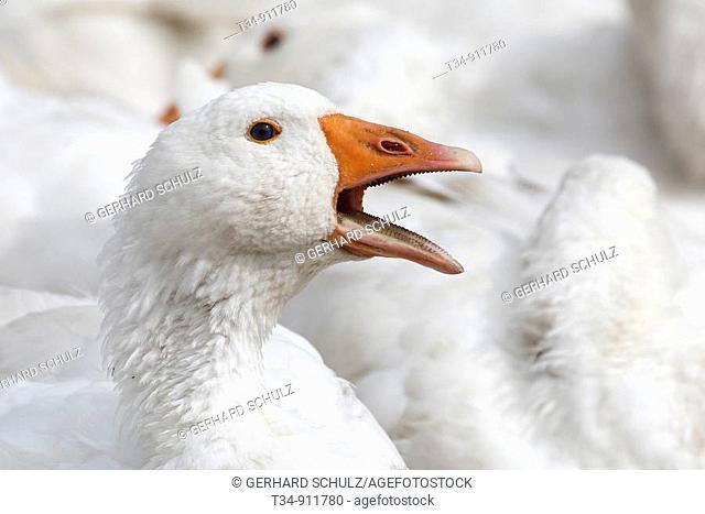 Hausgans  Domestizierte Form der Graugans , Anser anser, Schleswig-Holstein, Deutschland , Domestic Goose  Domestic Form of Greylag Goose , Anser anser